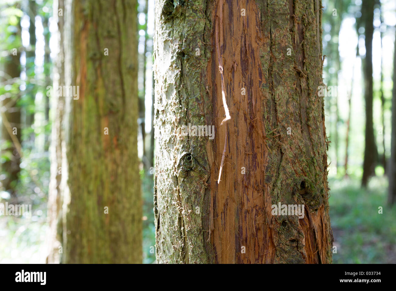 Pine tree bark damage by deer in Titchmarsh Wood, managed by the Forestry Commission, Northamptonshire, England, UK. - Stock Image