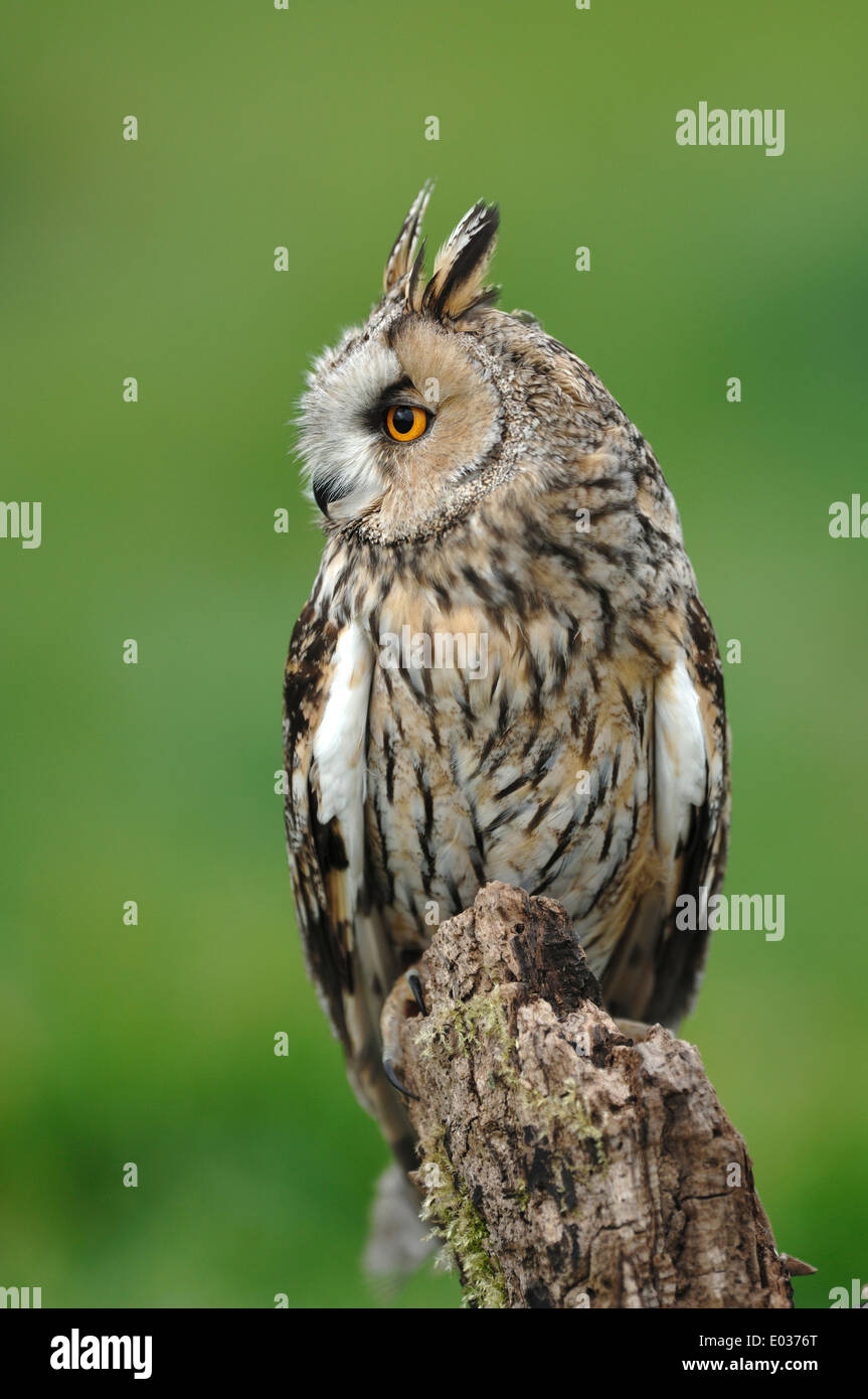 A long-eared owl on a stump UK - Stock Image
