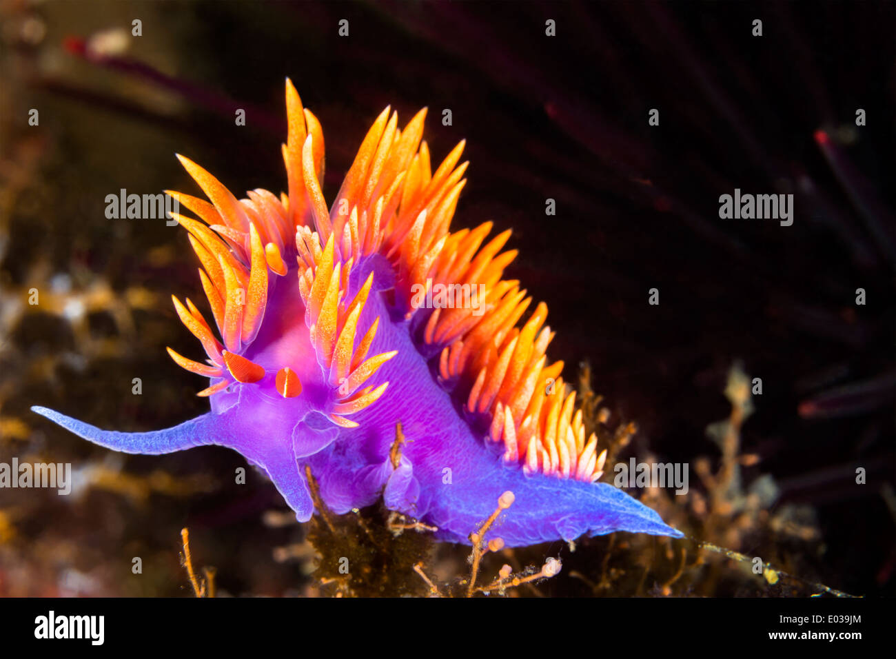 A Spanish shawl nudibranch snail, commonly found in the Channel Islands of California, crawls on branching cnidarians. - Stock Image