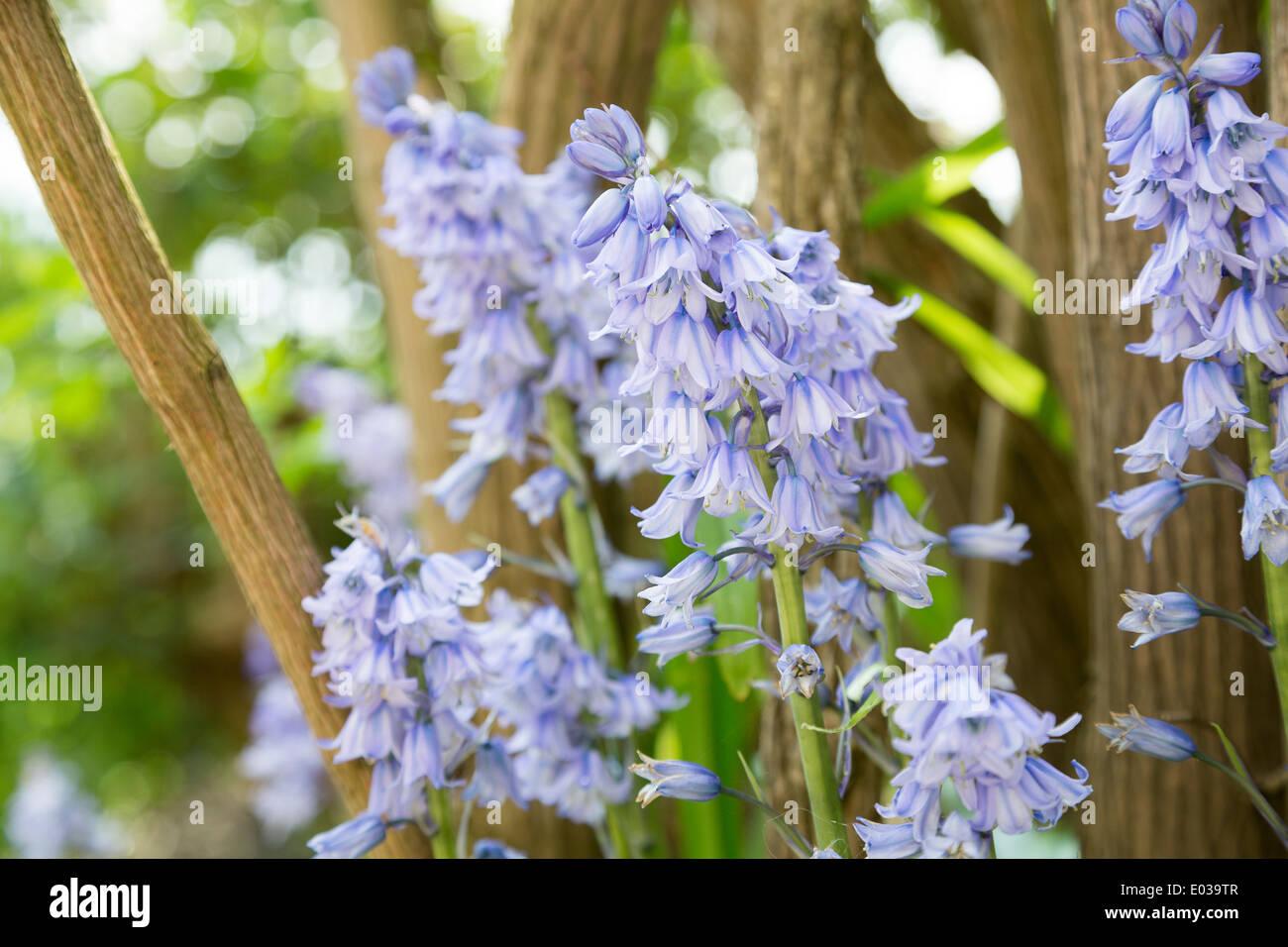 The Spanish bluebell, Hyacinthoides hispanica, in Northamptonshire, England, UK Stock Photo