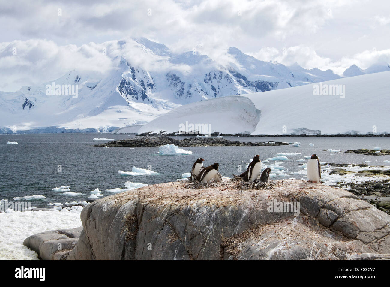 Antarctica, Gentoo penguins, Pygoscelis papua, nesting at Port Lockroy, Antarctic Peninsula with mountain and glacier landscape. - Stock Image