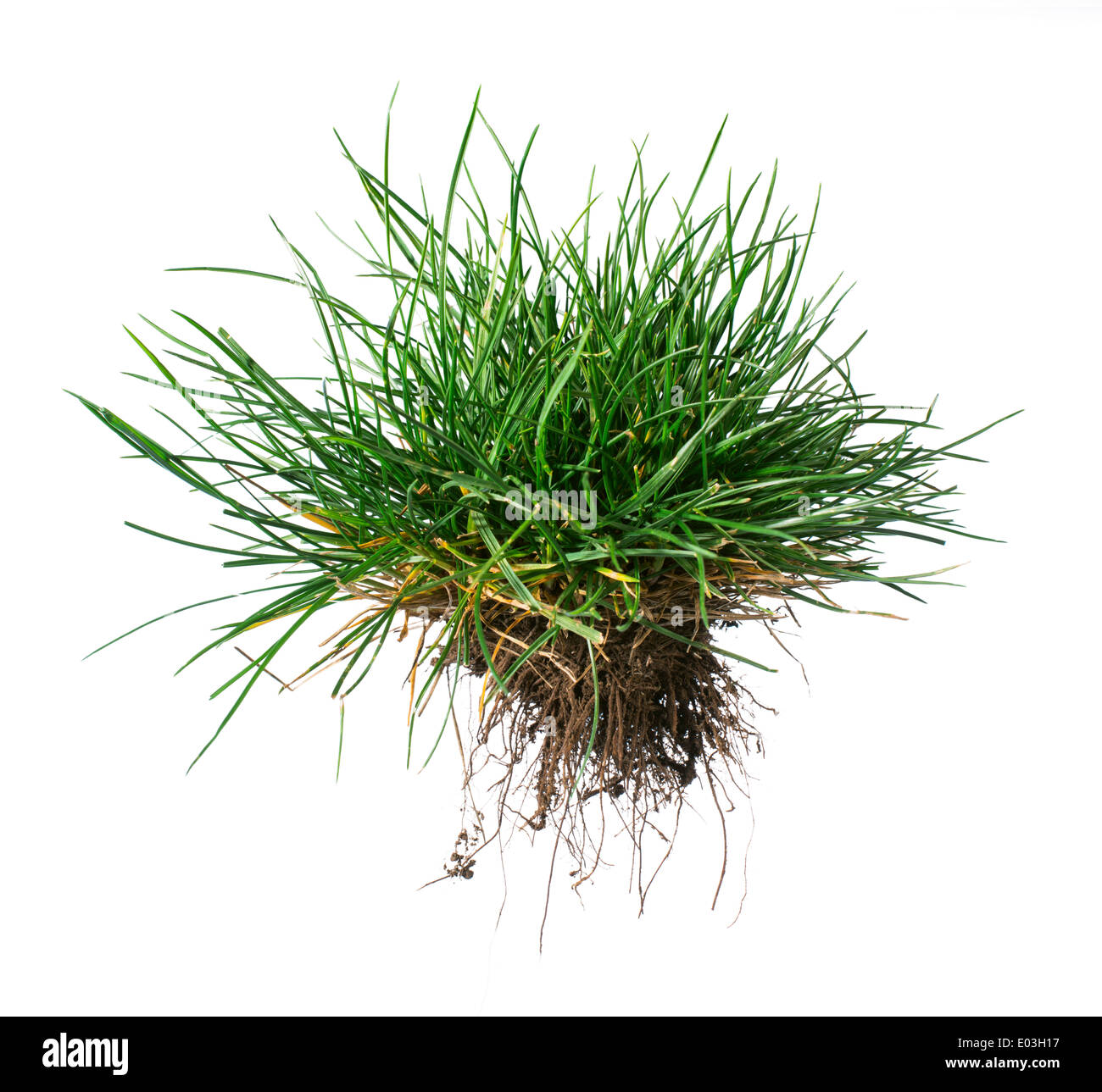 White isolated turf grass and earth. Rhizome - Stock Image