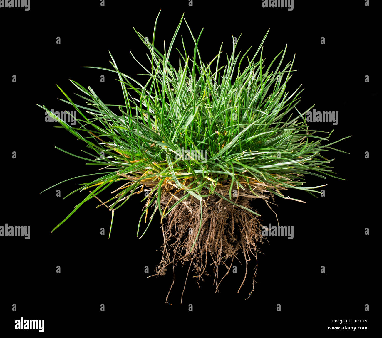 Black isolated turf grass and earth. Rhizome - Stock Image