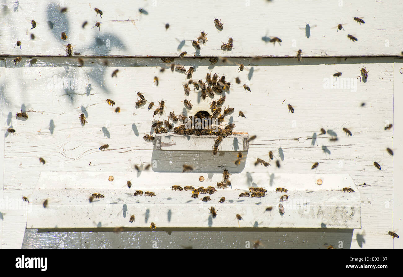 Bees entering the hive. White beehive - Stock Image