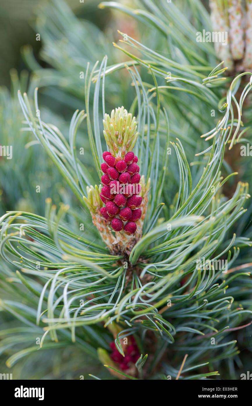 Pinus Pumila Draijers Dwarf. Draijers Dwarf Japanese Stone Pine flowering in april. UK - Stock Image
