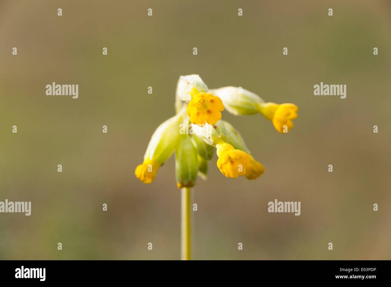 Cowslip (Primula veris), Yorksire, UK, spring Stock Photo