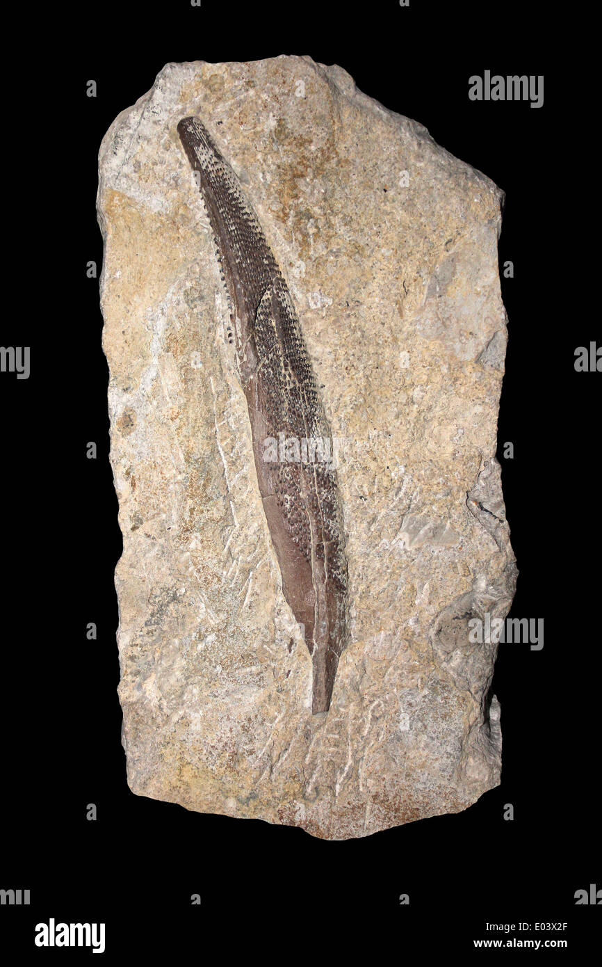 Dorsal Spine Of A Shark Asteracanthus verrucosus - Cap and Feather Bed, Upper Jurassic, Swanage, Dorset, UK - Stock Image