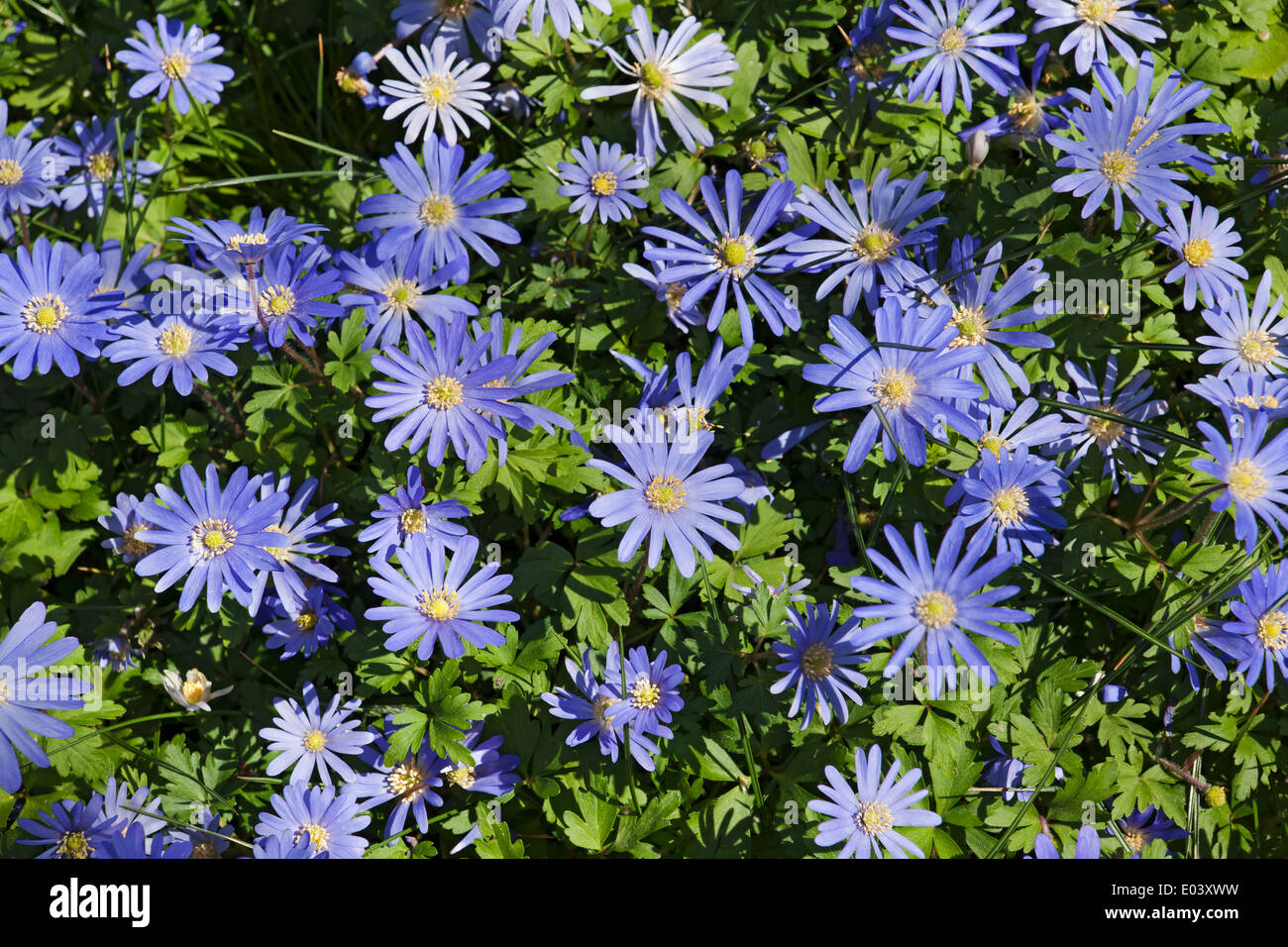 Blue anemone flowers in spring england uk united kingdom gb great blue anemone flowers in spring england uk united kingdom gb great britain mightylinksfo
