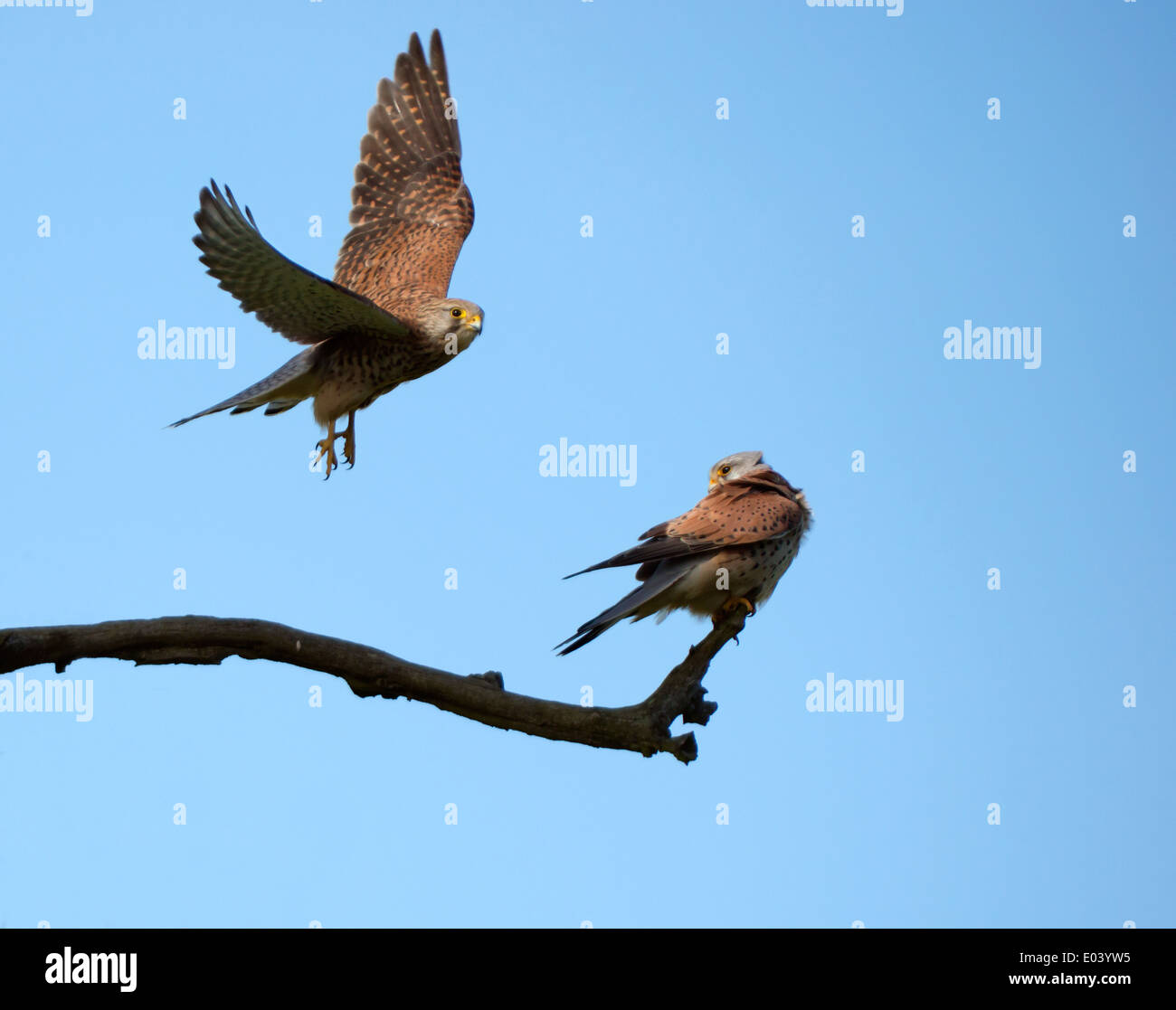 Wild female Kestrel (Falco tinnunculus) in flight with male perched in evening sunlight - Stock Image