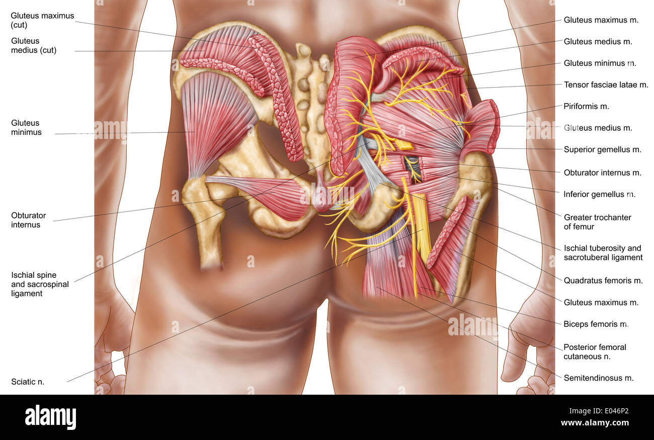 Anatomy Of The Gluteal Muscles In The Human Buttocks Stock Photo