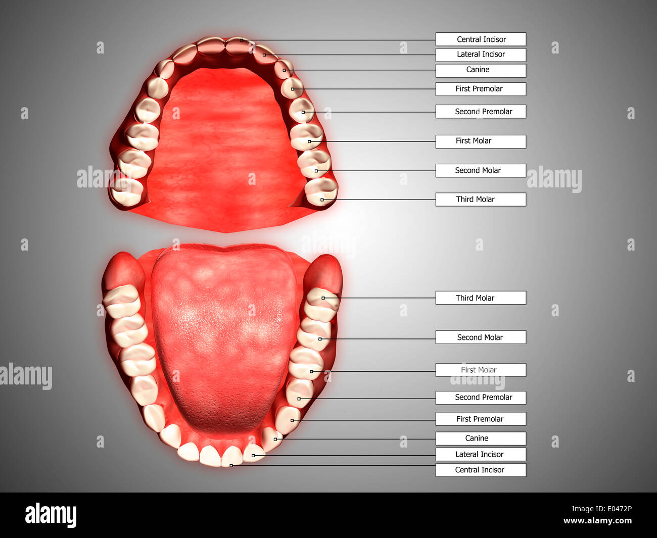 Human Teeth Structure With Labels Stock Photo 68934846 Alamy