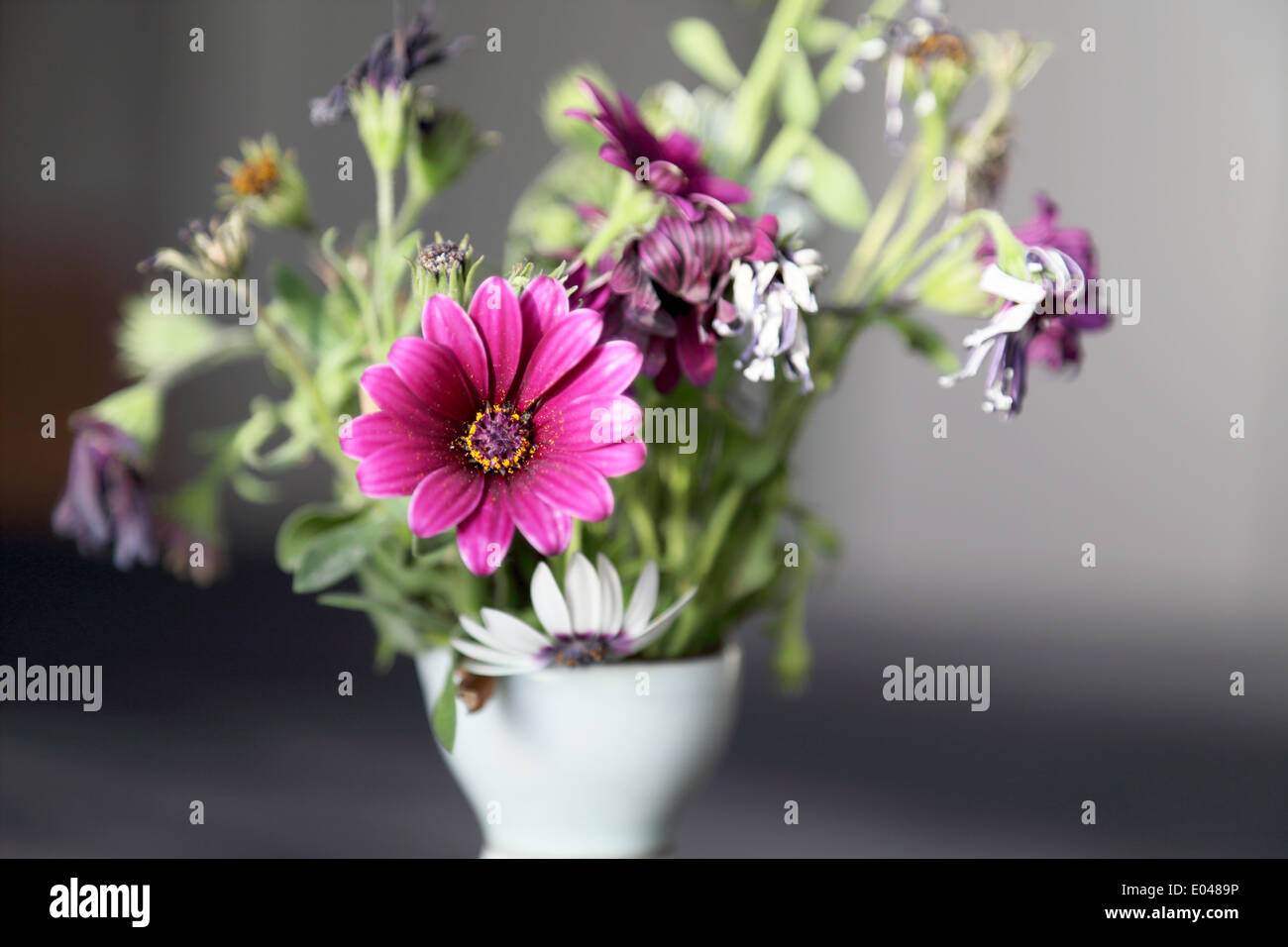 Fuchsia Colored and Withered Flower - Stock Image