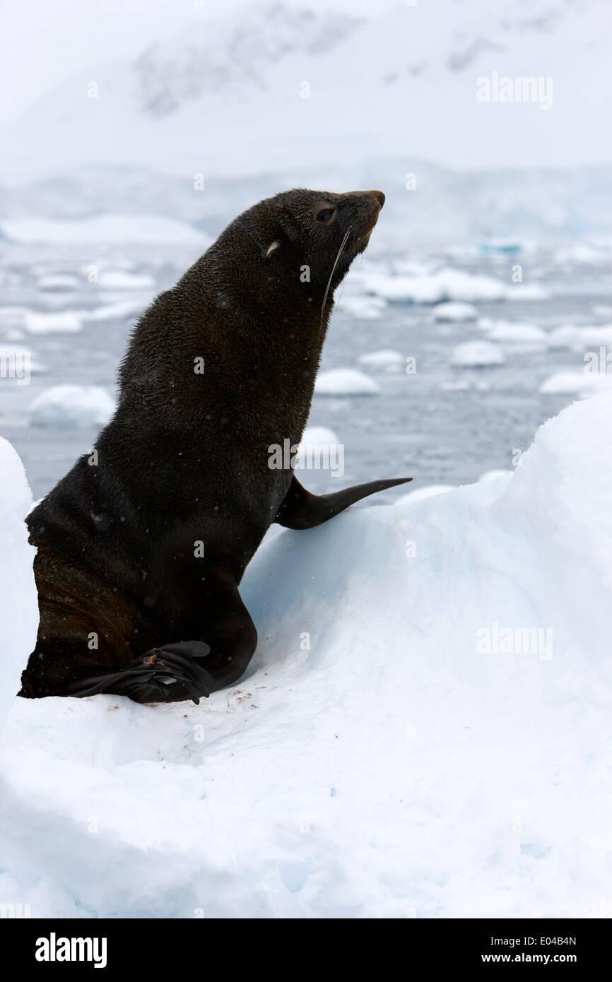 juvenile fur seal sitting up floating on iceberg in Fournier Bay Antarctica - Stock Image