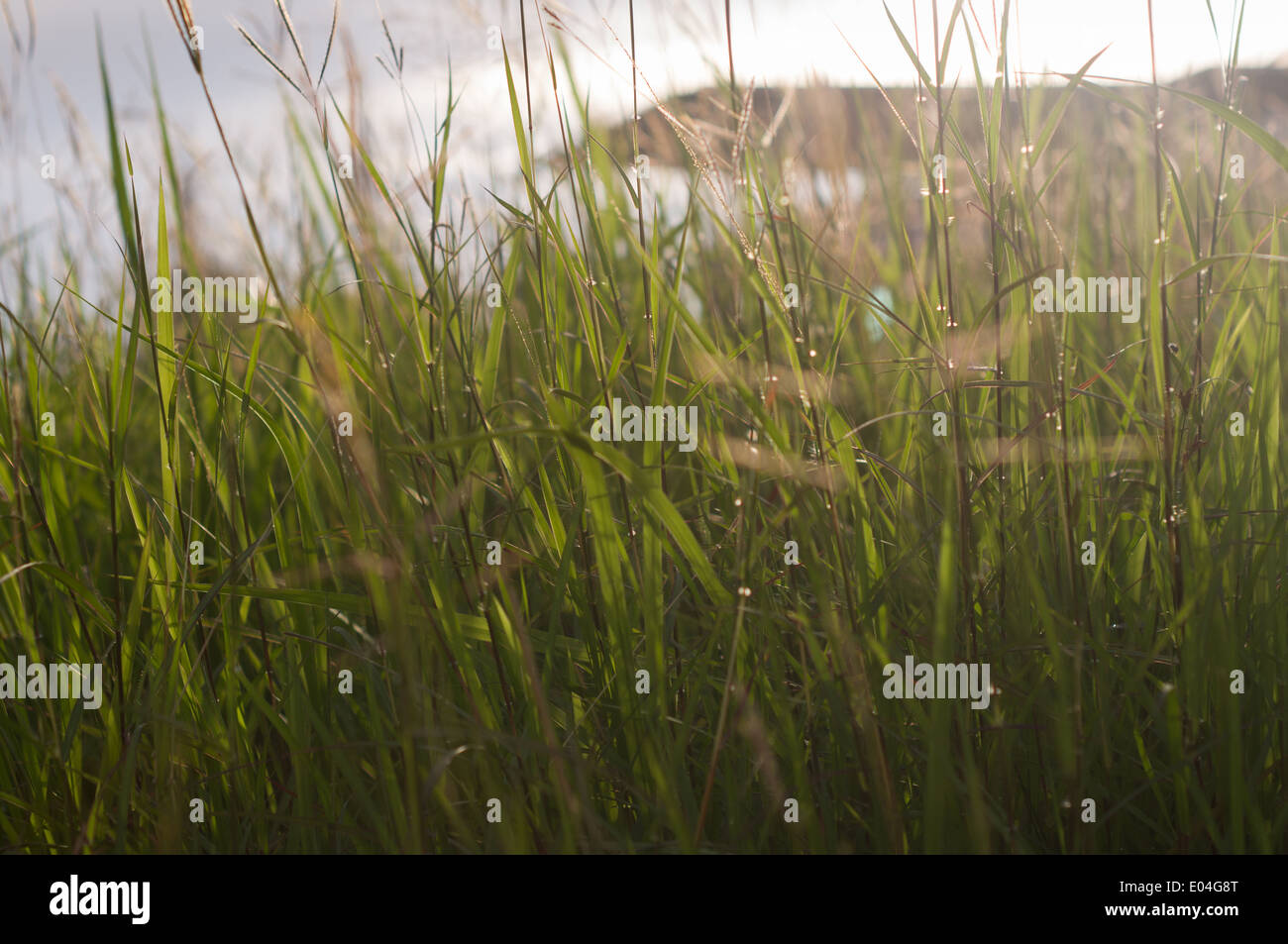 tall blady grass - Stock Image