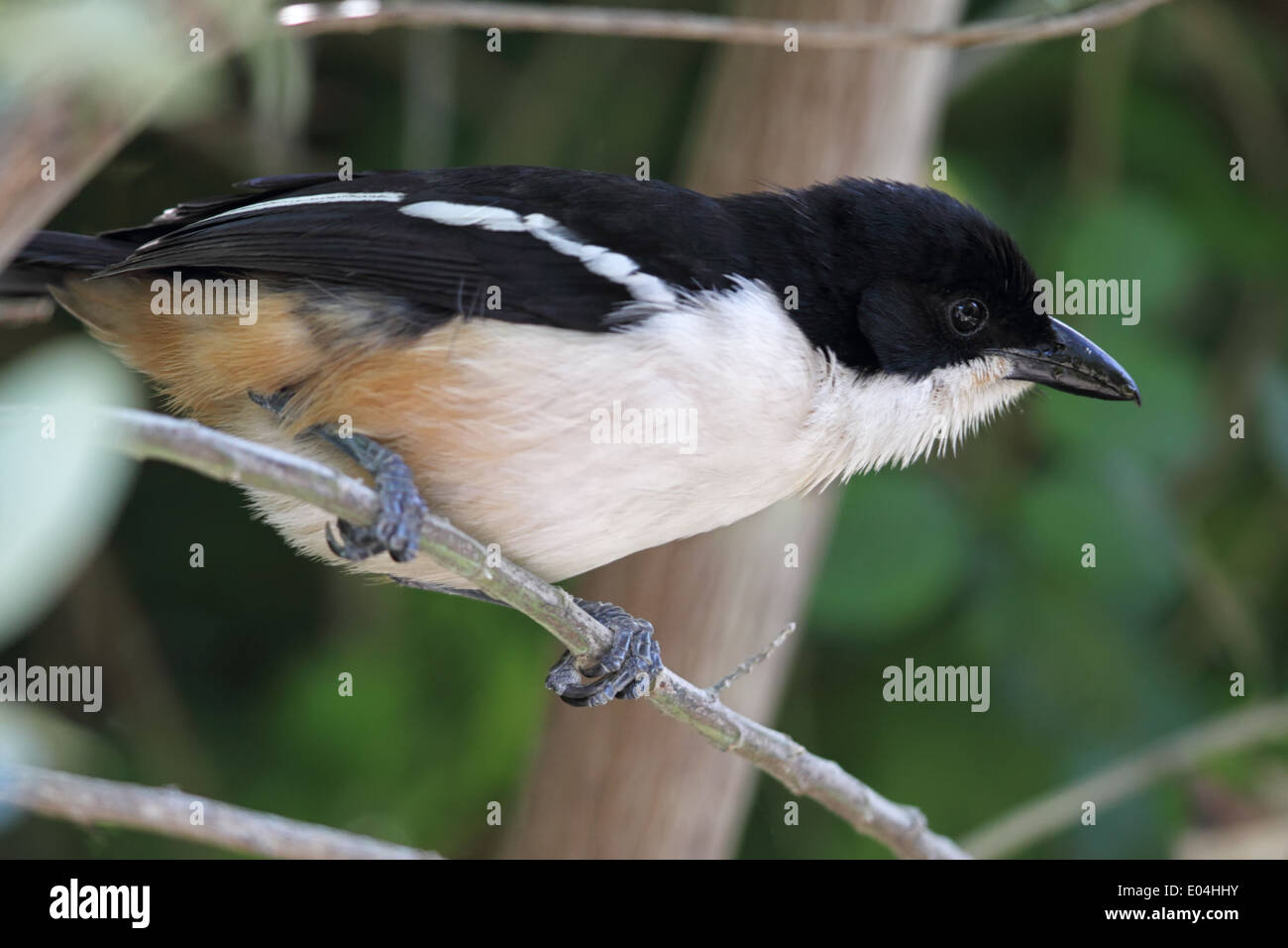 Fiscal Shrike (Lanius collaris) sitting in a bush at Boulders Beach near Simons Town, Südafrika. - Stock Image