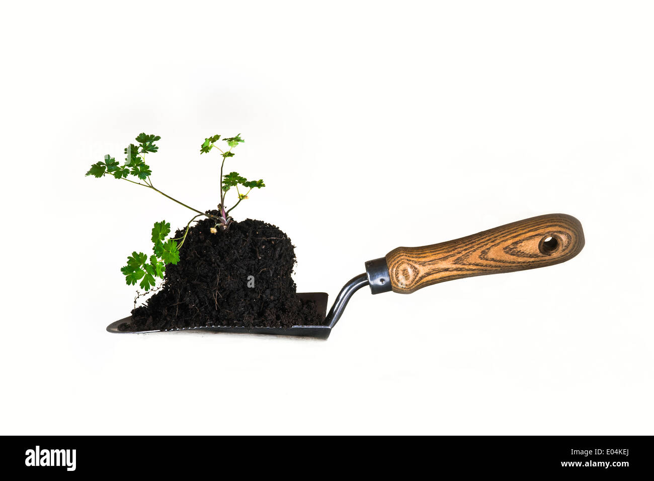Young plant on a trowel for transplanting. - Stock Image