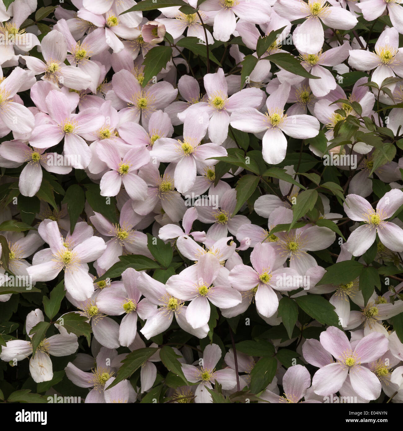 Closeup of Early Flowering Clematis Montana Rubens Producing Pale Pink Flowers in an Alsager Garden Cheshire England - Stock Image