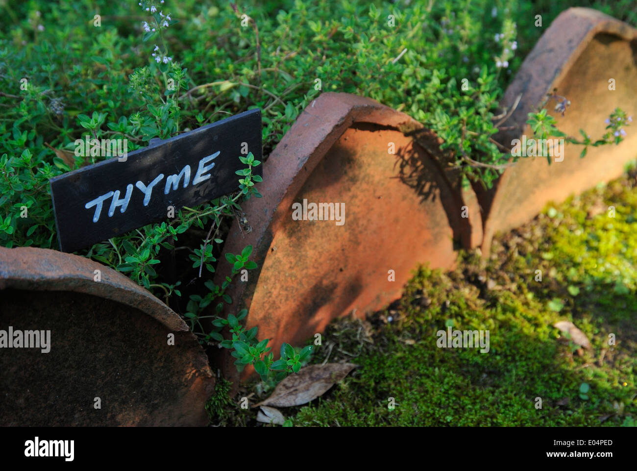 View of Thyme sign in country garden growing fresh herbs for healthy cooking of flavourful food Plants Colours - Stock Image