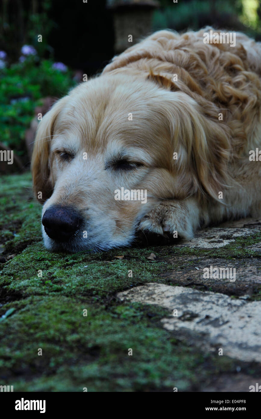 Rosetta, KwaZulu-Natal, South Africa, content Golden Retriever, sleeping dog, head on brick paving, animals, dogs, pets - Stock Image