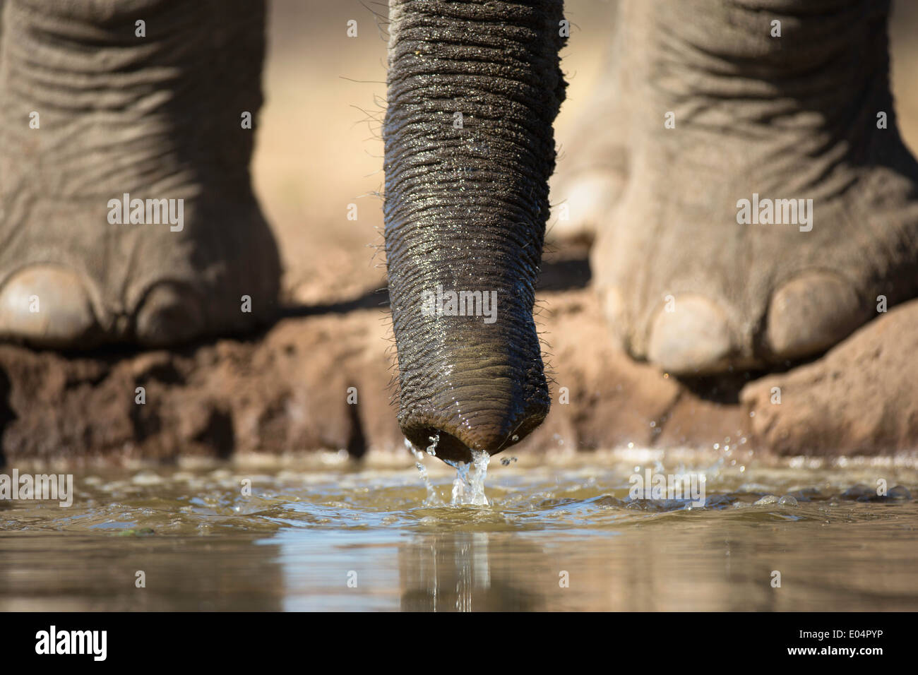 African elephant (Loxodonta africana).Close-up of elephant feet and trunk drinking at waterhole in Mashatu game Stock Photo