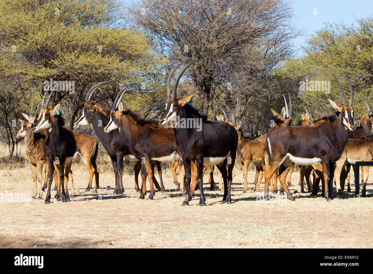 Small group of Sable antelope (Hippotragus niger).South Africa - Stock Image