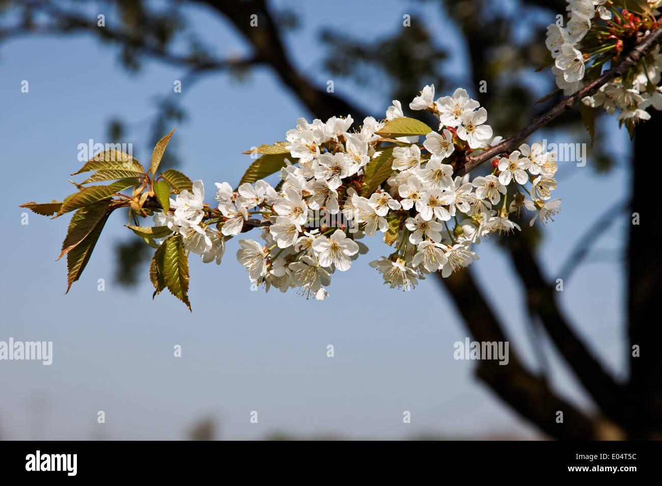 Singles blossoming cherry tree branch before blue sky, Einzelner bluehender Kirschbaum Zweig vor blauem Himmel - Stock Image