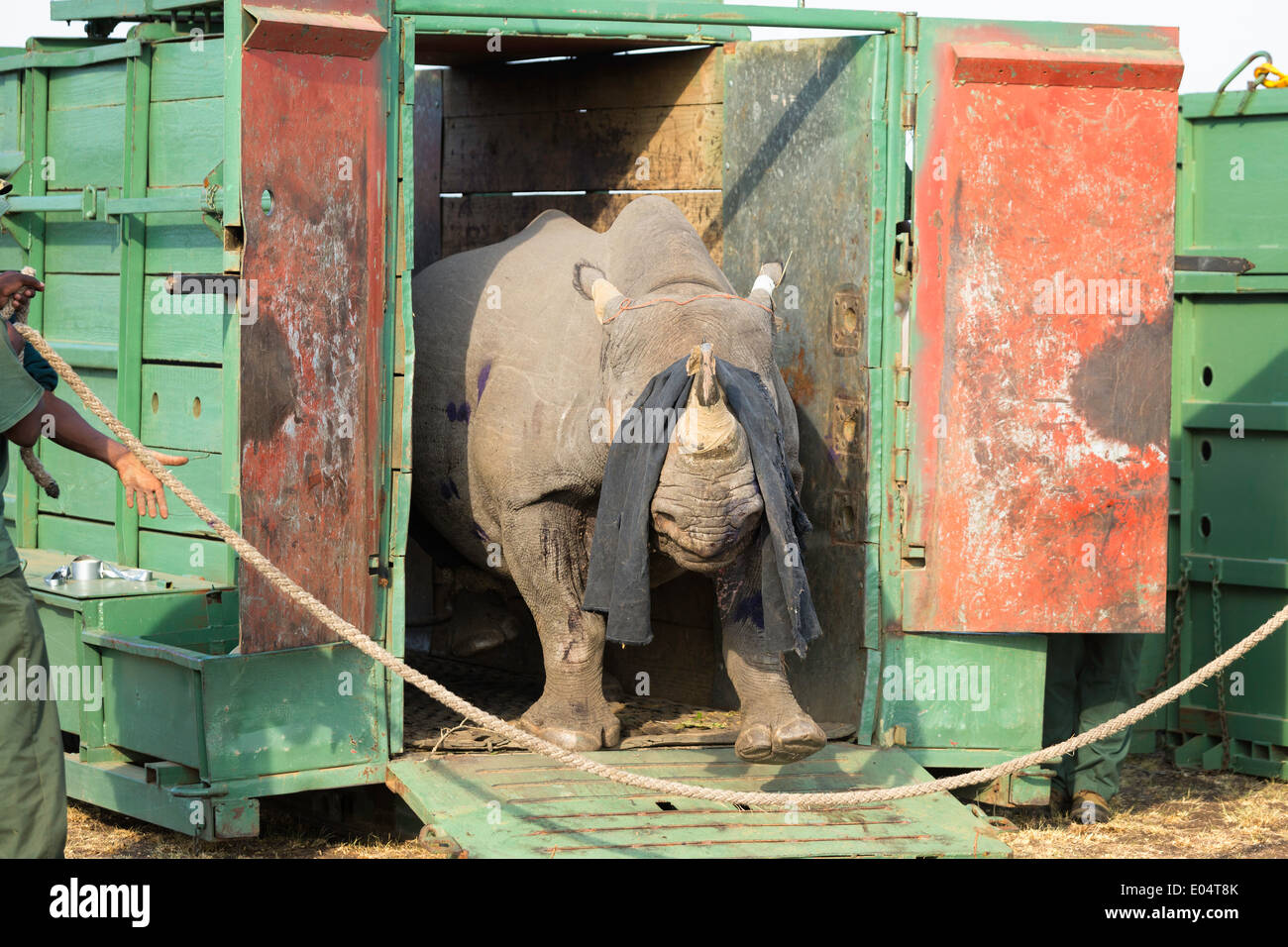 Black Rhinoceros (Diceros bicornis) being released into a protected area.Ithala game reserve.South Africa - Stock Image