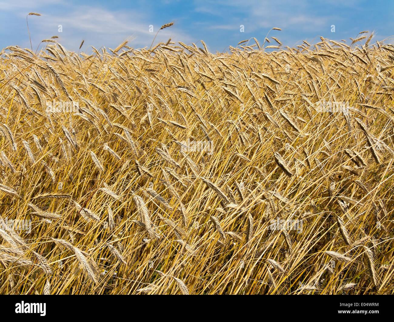 Ripe barleys field in buzzer, Ein reifes Gersten Feld im Sommer - Stock Image