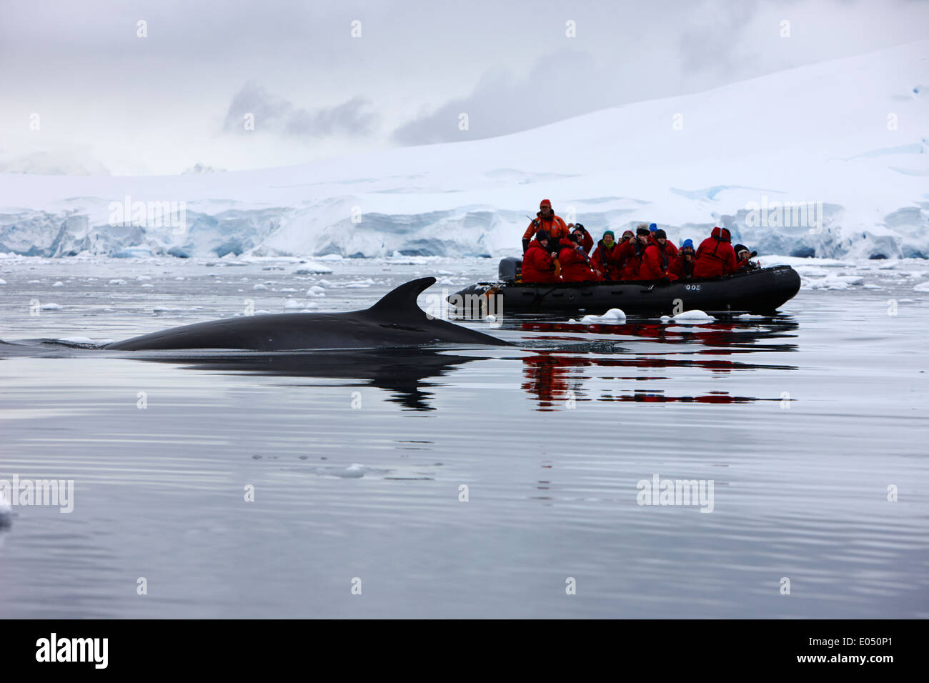 passengers on board a zodiac cruise on excursion in antarctica watching minke whales - Stock Image