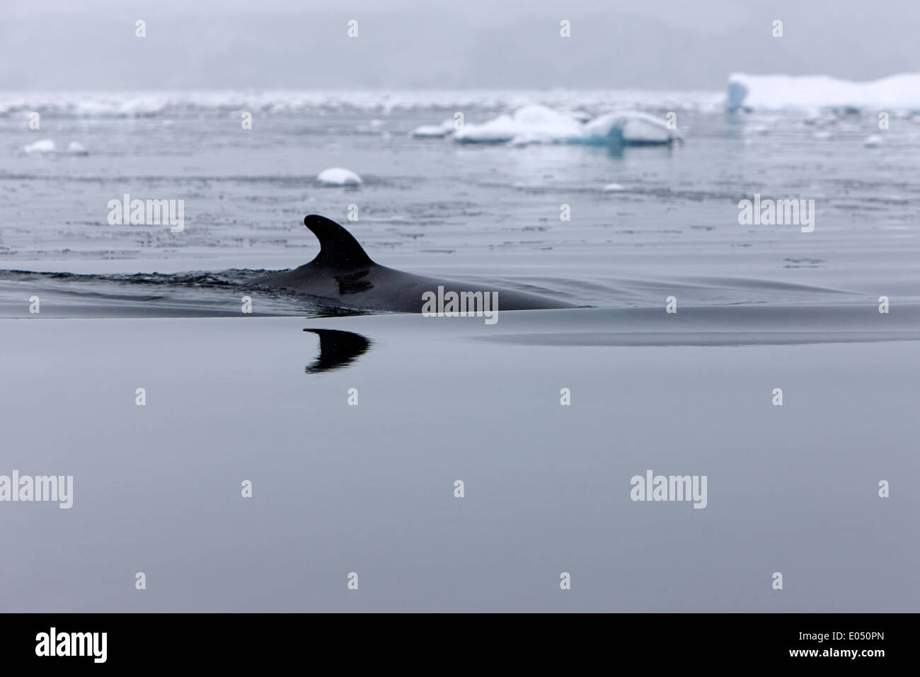 minke whale surfacing with dorsal fin in fournier bay antarctica - Stock Image