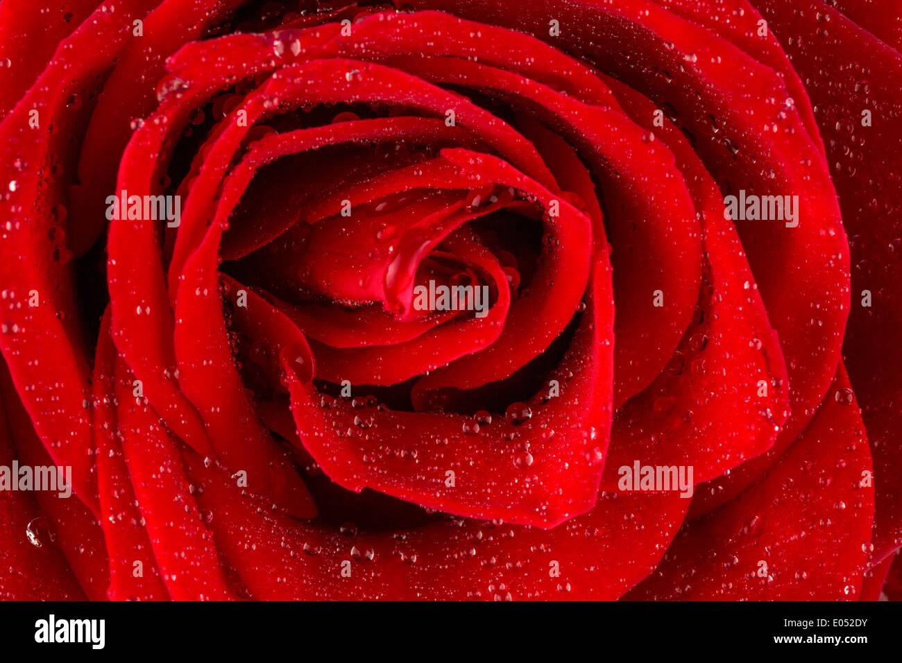 A red rose with drop of water on the blossom., Eine rote Rose mit Tropfen aus Wasser auf der Bluete. Stock Photo