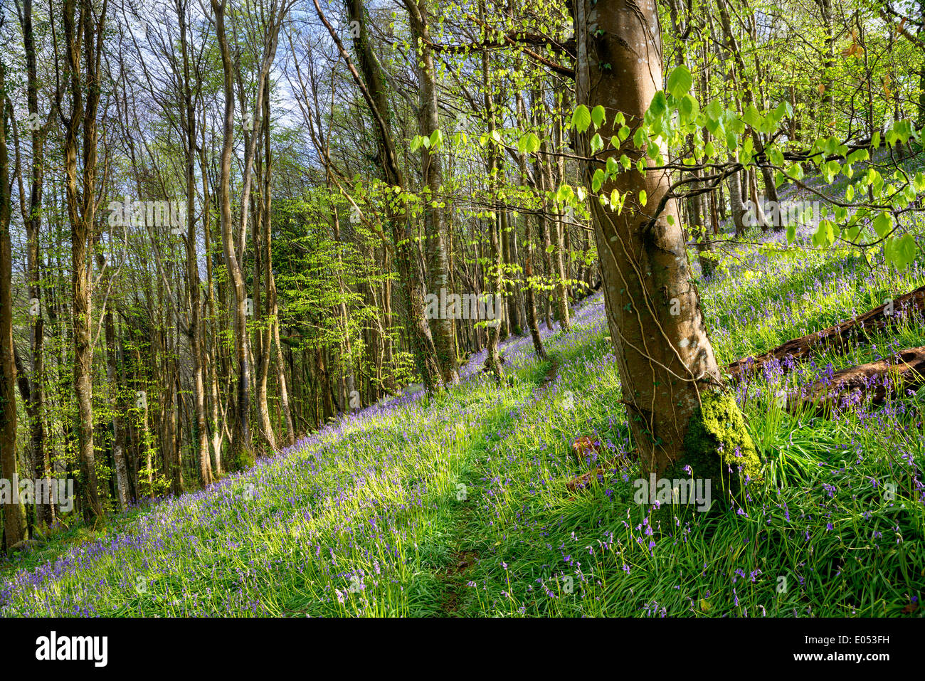 Native Bluebells growing on a steep wooded hillside in Cornwall - Stock Image