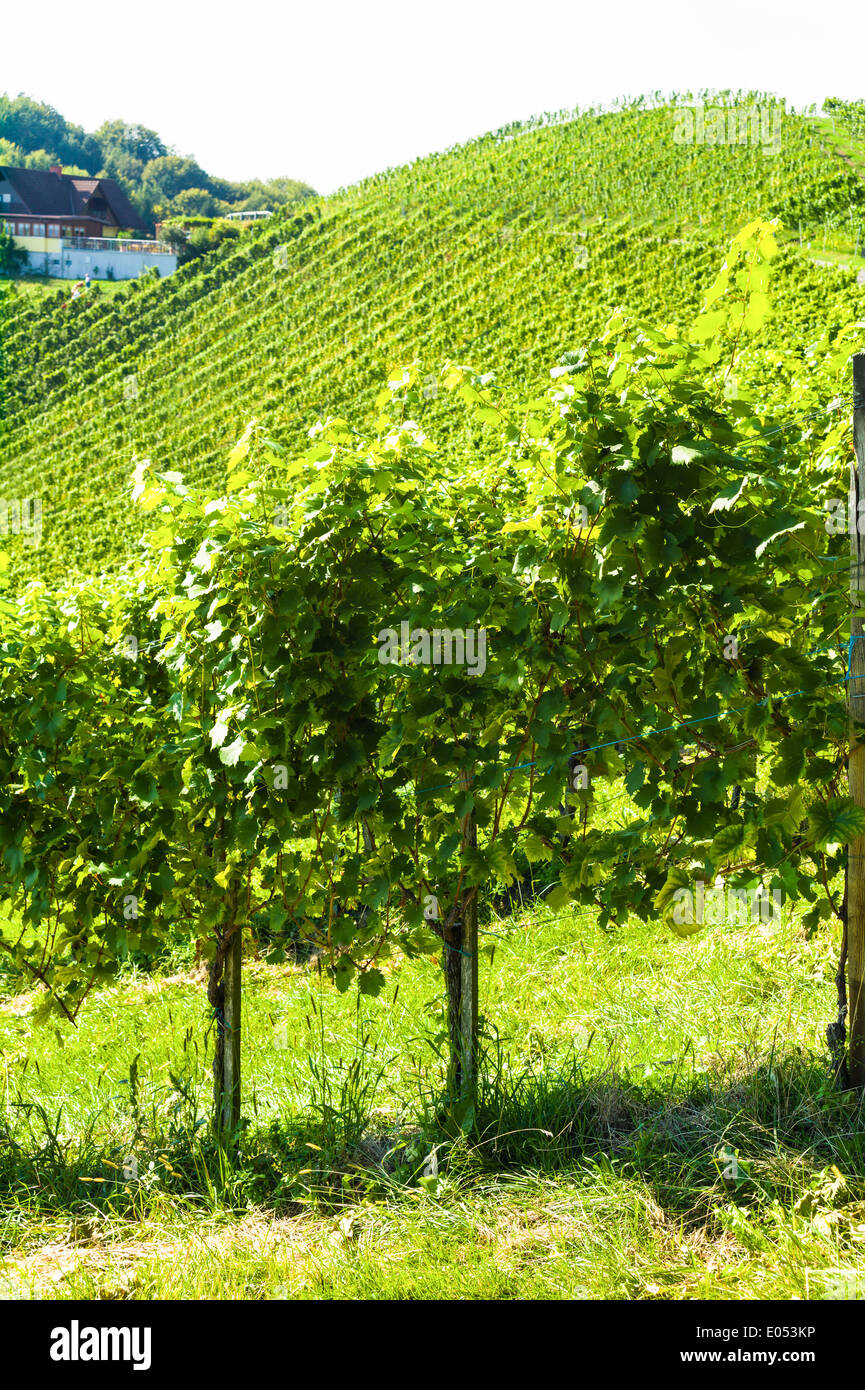 Bunches of grapes in the vineyard of a winegrower. Vineyard in autumn Stock Photo