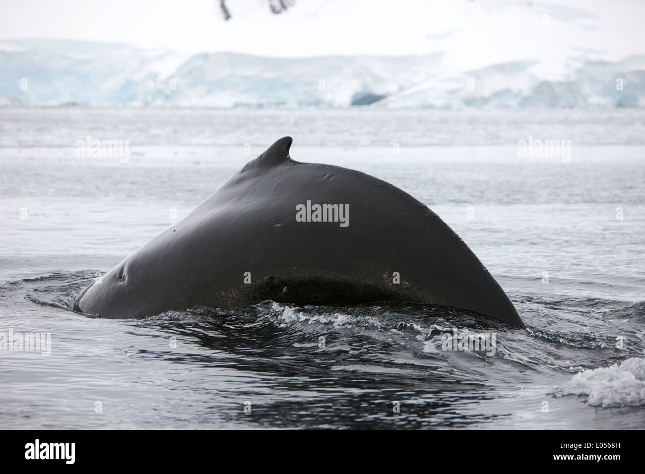 large male Humpback whale with scar and arched back diving in Wilhelmina Bay Antarctica - Stock Image