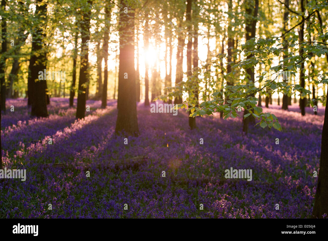 Bluebells at sunset in Dockey Wood on the Ashridge Estate in the Home Counties, UK - Stock Image