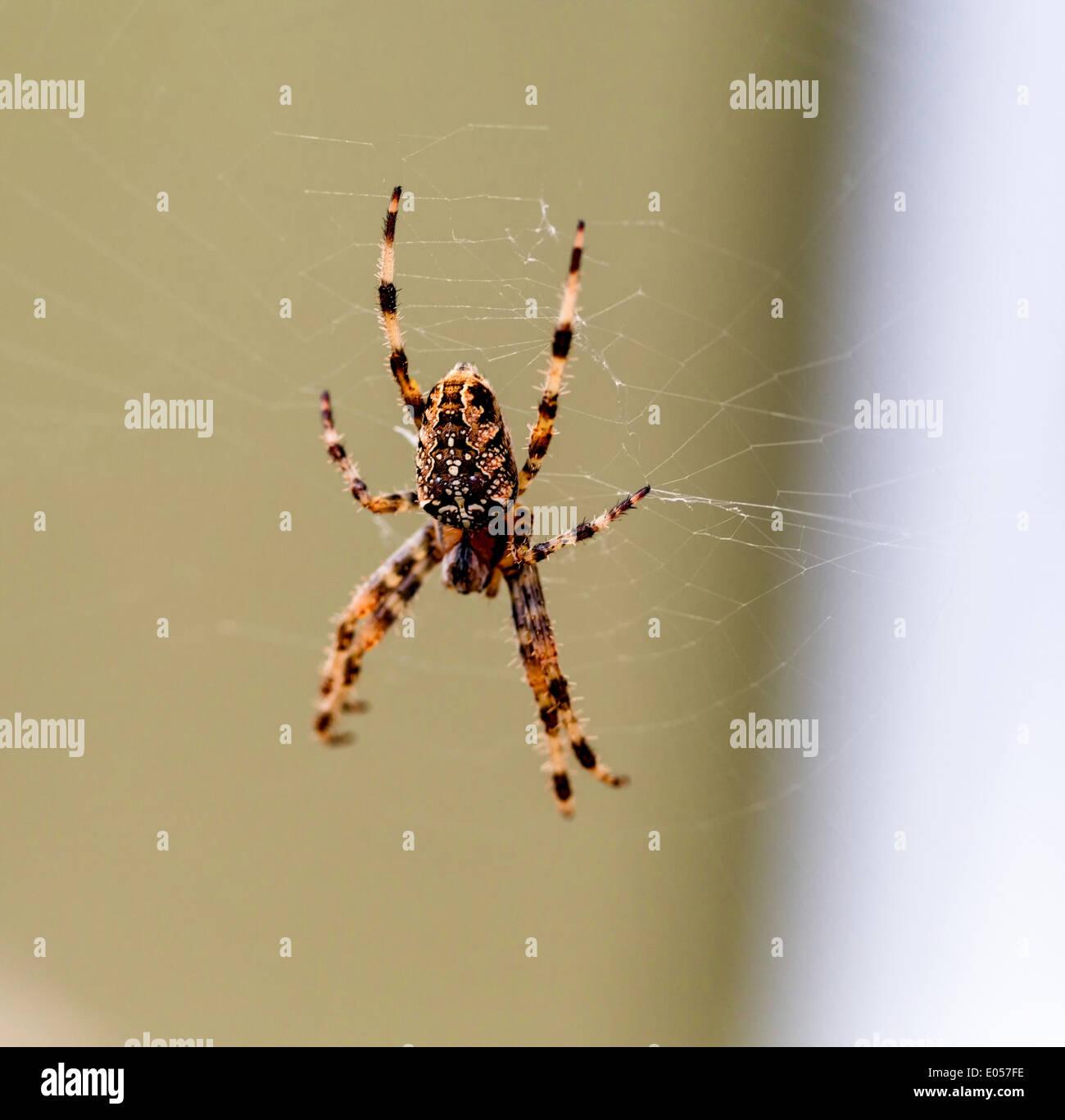 A spider spins a spider net for her victims, Eine Spinne spinnt ein Spinnennetz fuer ihre Opfer - Stock Image