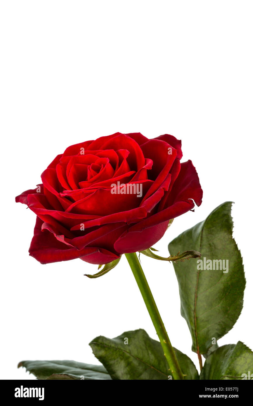 A red rose before white background. Symbolic photo for beauty, love, Valentinstag, Eine rote Rose vor weissem Hintergrund. Stock Photo