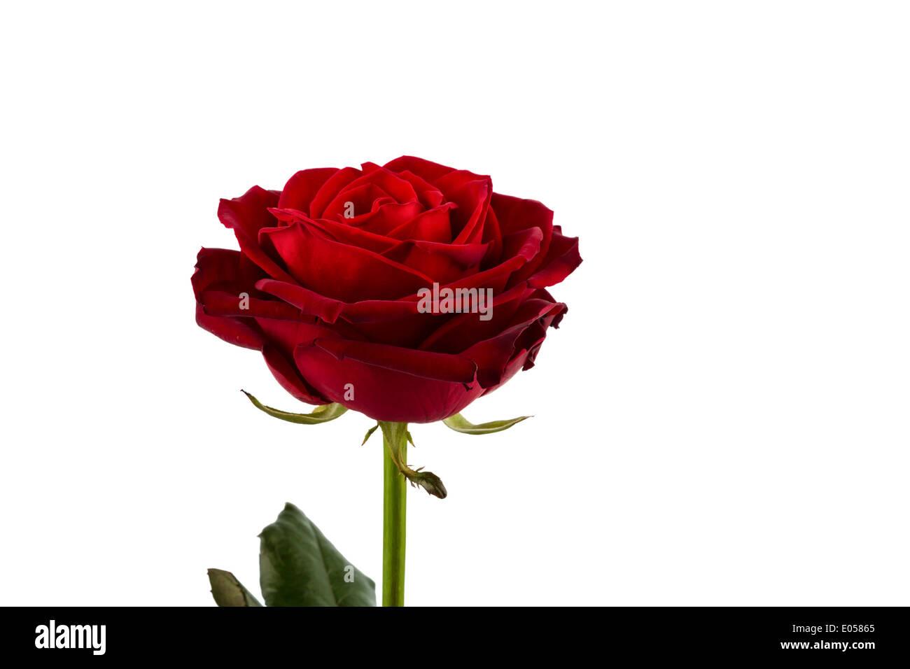 A red rose before white background. Symbolic photo for beauty, love, Valentinstag, Eine rote Rose vor weissem Hintergrund. Stock Photo
