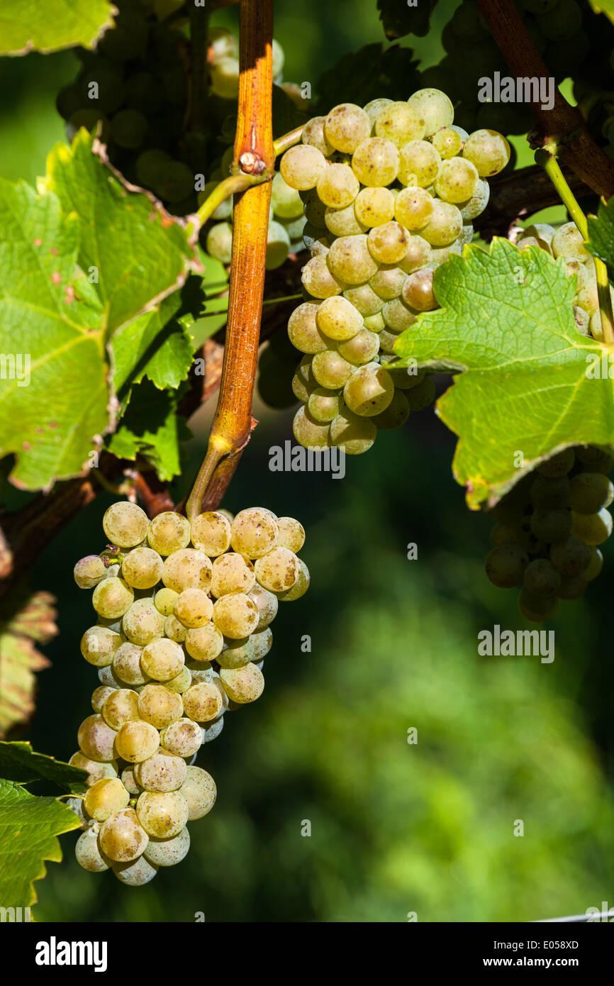 Bunches of grapes in the vineyard of a winegrower. Vineyard in autumn., Weintrauben im Weinberg eines Winzers. Weingarten im Her Stock Photo