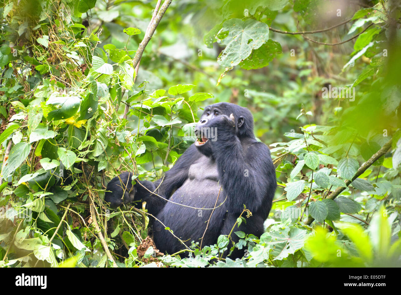 a male gorilla or so called silverback in the prime forest of Bwindi  national park in