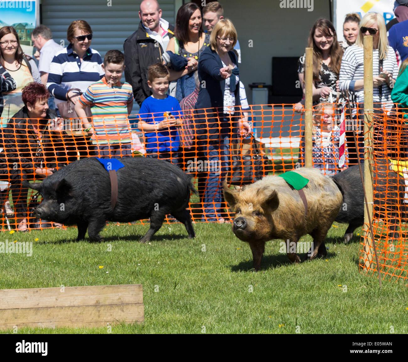 Pig racing at Bank Holiday Garden Fair.Preston Park, Stockton on Tees. UK Stock Photo