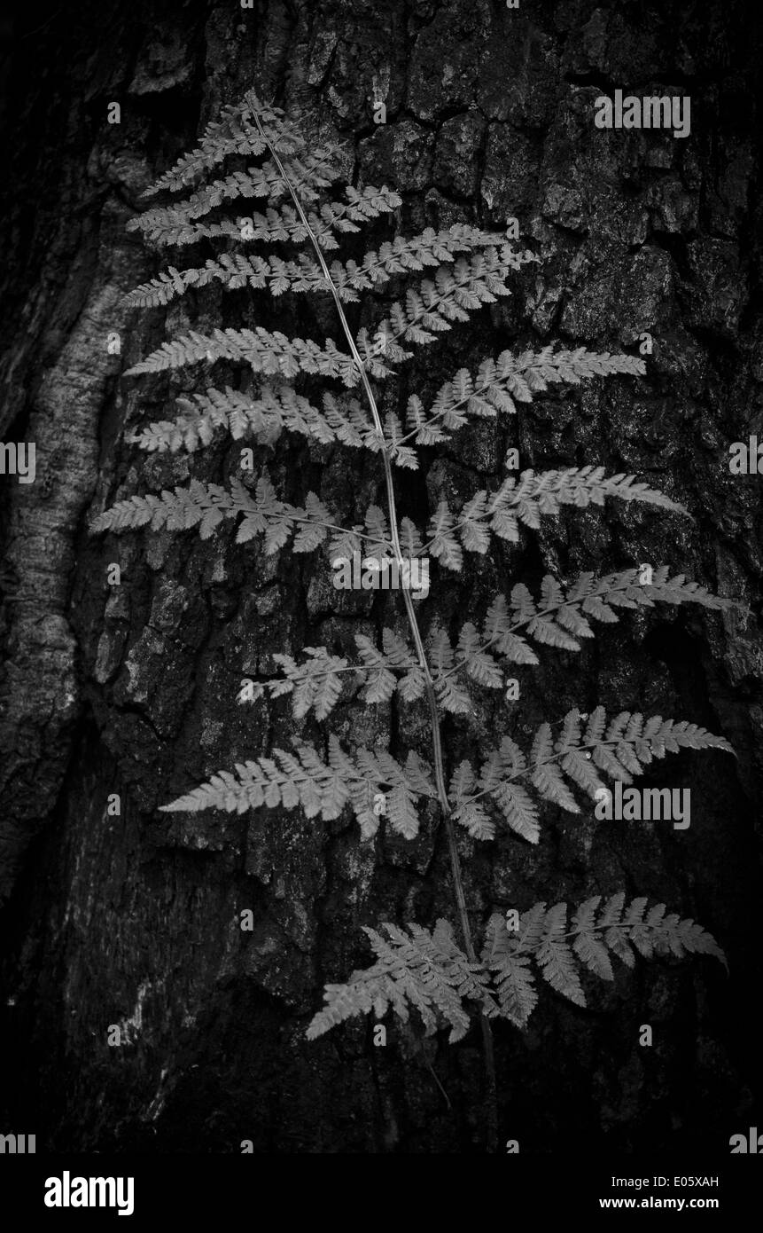 Fern leaf, in black and white. - Stock Image