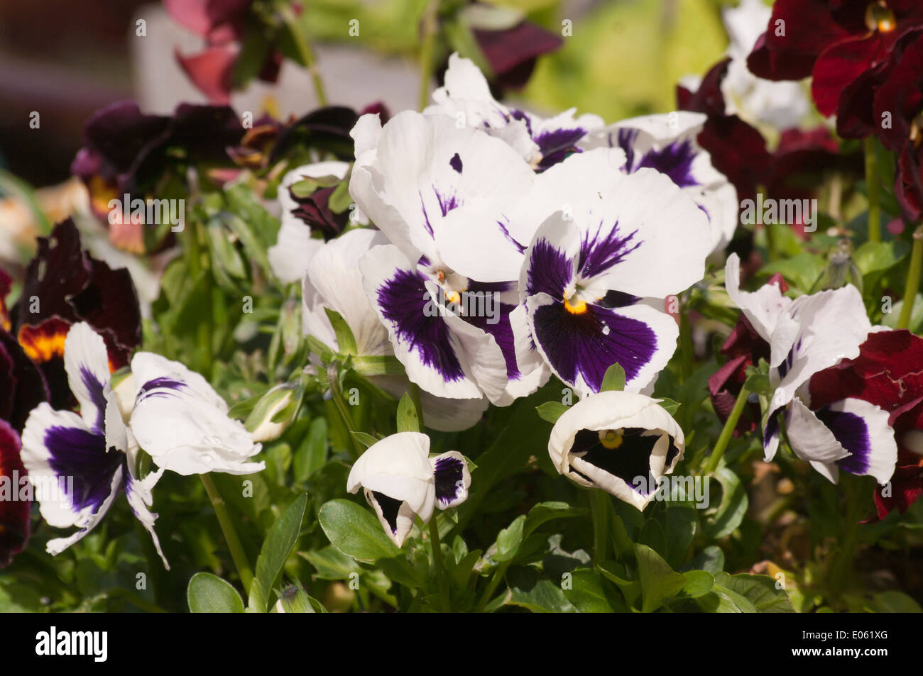 Blue and White Bicolour Spring Pansies UK Stock Photo
