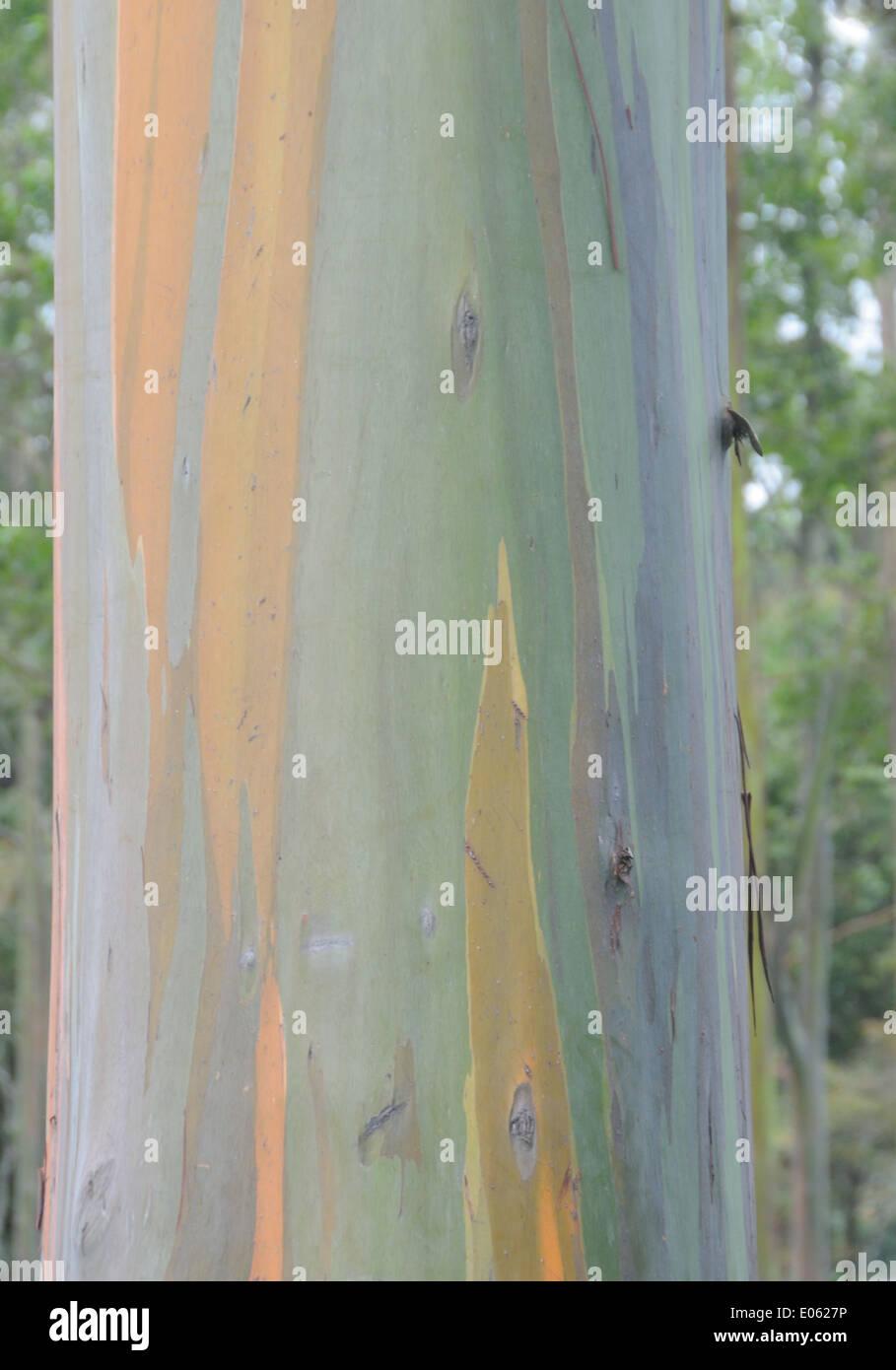 Varicoloured bark of a tree in a city park. San Jose, Costa Rica. - Stock Image
