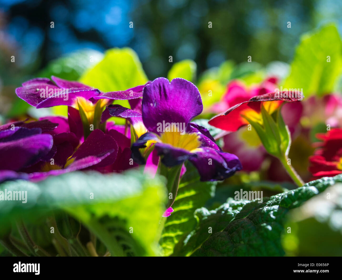 Different Pansies flowers in the garden during spring time Stock Photo
