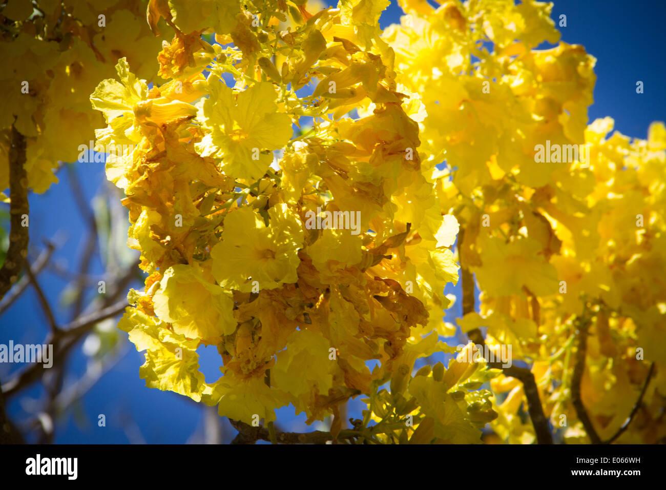 Yellow flower tree jalisco mexico stock photo 68978605 alamy yellow flower tree jalisco mexico mightylinksfo