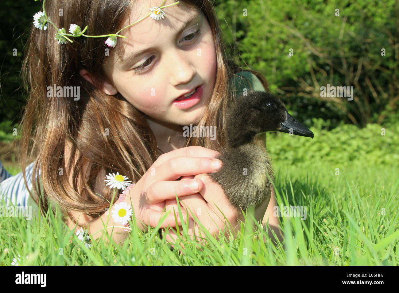 Portrait of eight old girl with a daisy chain holding her pet cayuga duckling Anas platyrhynchos domesticus, uk - Stock Image