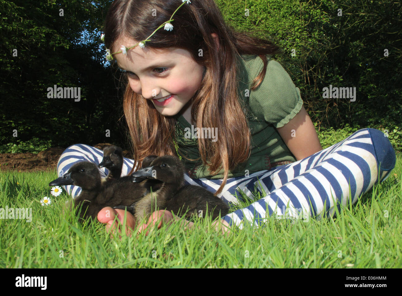 Portrait of eight old girl with a daisy chain playing with her pet cayuga ducklings Anas platyrhynchos domesticus, uk - Stock Image