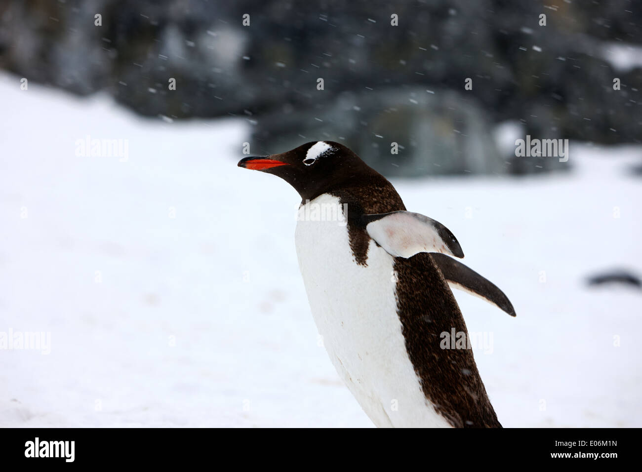 gentoo penguin cooling down with wings outstretched in snowstorm on cuverville island antarctica - Stock Image