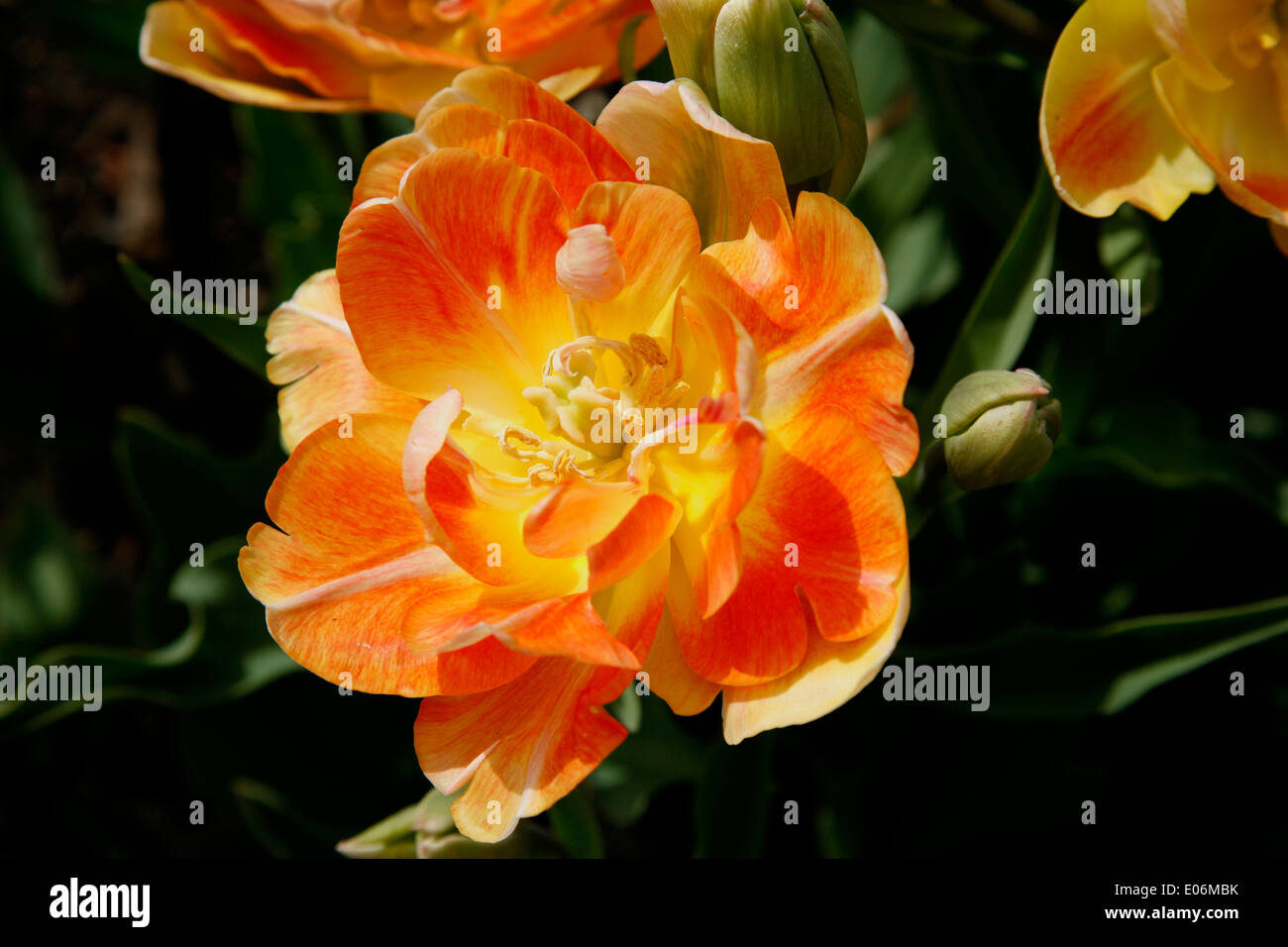 This Tulip is varying shades of apricot-tangerine with blush-apricot exterior petals, ever darkening  center. - Stock Image